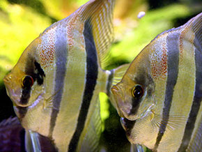 World Of Pets And Aquatics - Angel Fish