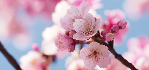 How to Grow Flowering Cherries