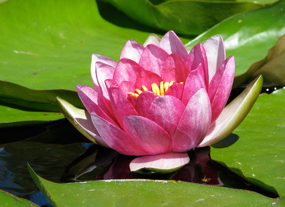 Divide water lilies if overcrowded