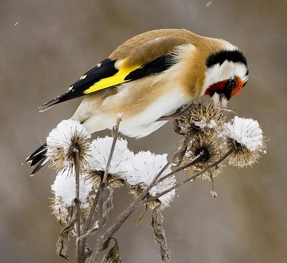 Goldfinch Feeding on Thistle