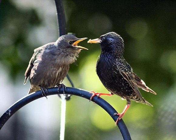 Starling Feeding Fledgling or Baby