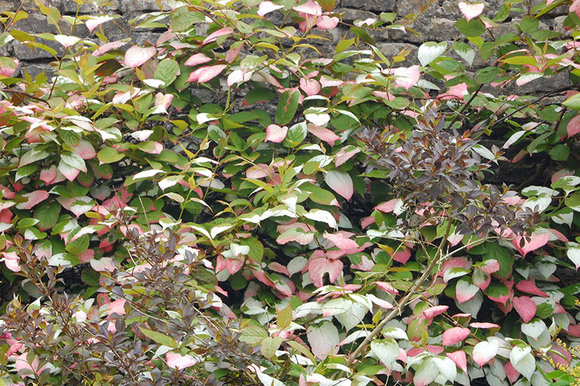 Actinidia kolomikta at Levens Hall, Cumbria