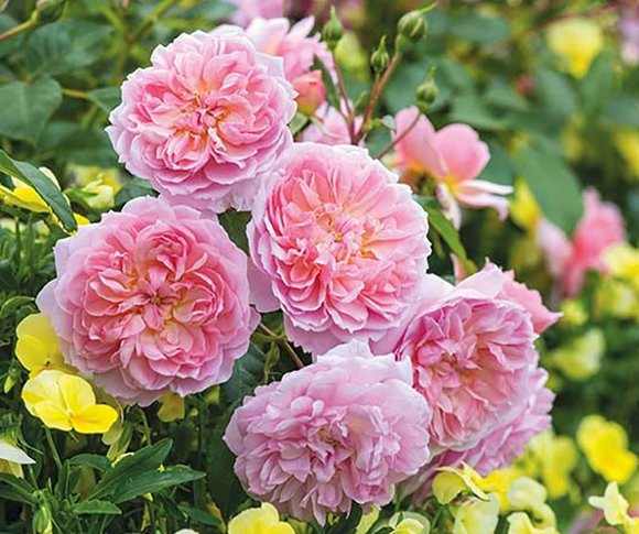 David Austin rose Anne Boleyn