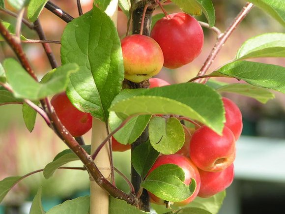 Crab apple Gorgeous