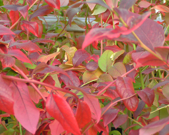 Autumn leaves of blueberries (Vaccinium)