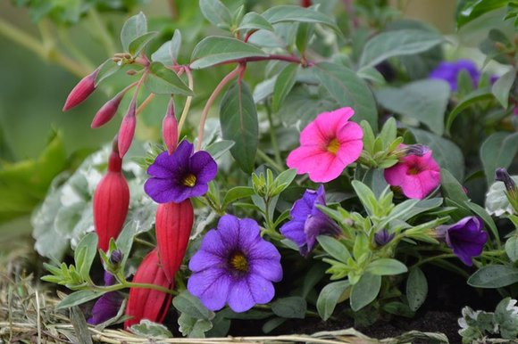 Pink & purple calibrachoa and fuchsia