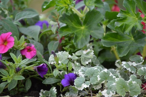 Ivy-leaved geranium, calibrachoa and nepeta