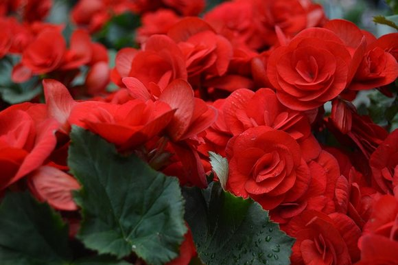 Red Begonia elatior