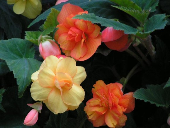Trailing begonia 'Illumination'