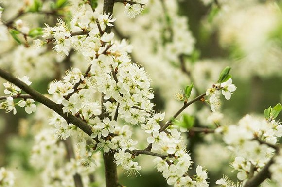 Blackthorn blossom a relative of the damson