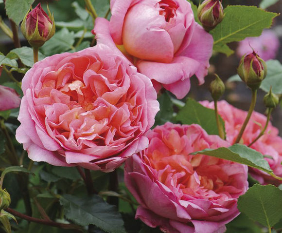 David Austin rose Boscobel