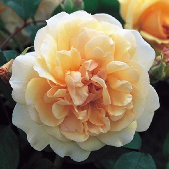 Shrub rose Buff Beauty