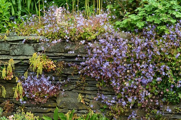 campanula growing in the wall