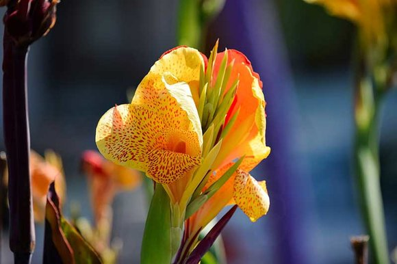 Canna's can be planted in May
