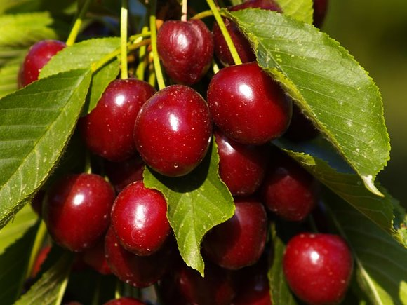 Red cherries growing on tree