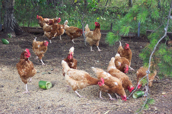 freerange chickens (hens) outdoors in a run