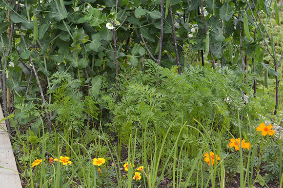 growing vegetables; peas, carrots, spring onions, marigolds