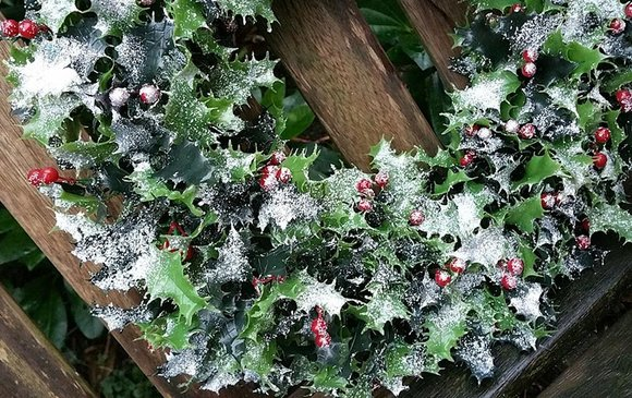 Holly wreath dusted with snow