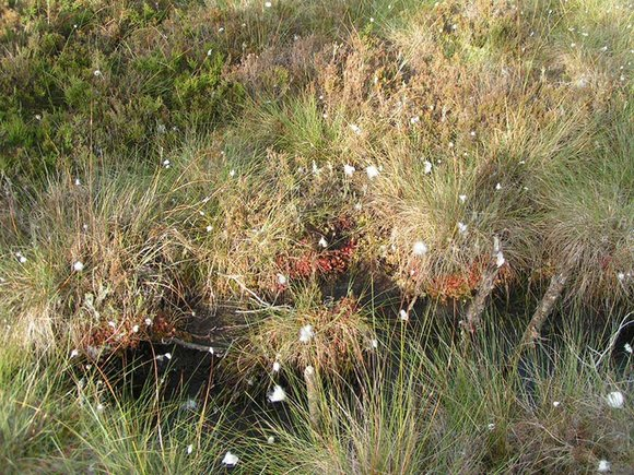 Savin Hill raised bog with sundews, cotton grass, heather, sphagnum