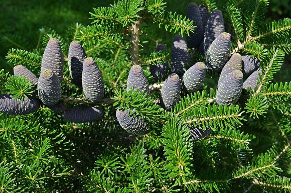Conifer with blue cones
