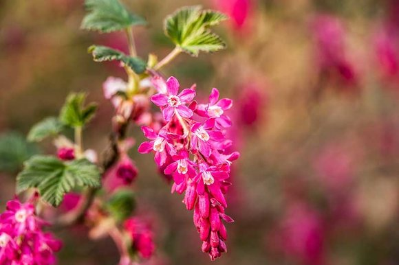 Flowering Currant can be pruned in May after flowering