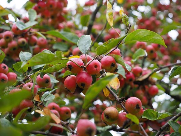 Red crab apples (Malus) growing on tree