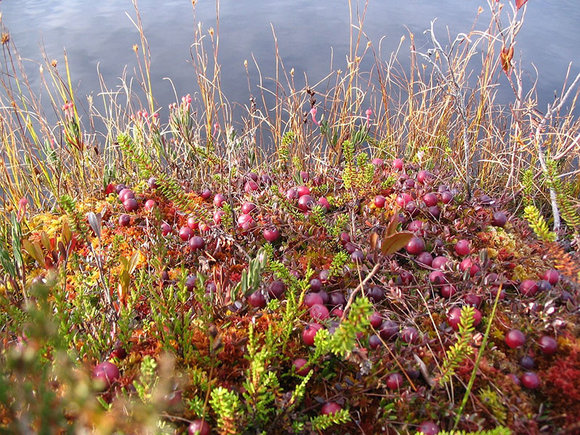 Wild cranberries (Vaccinium oxycoccus) growing on a bog