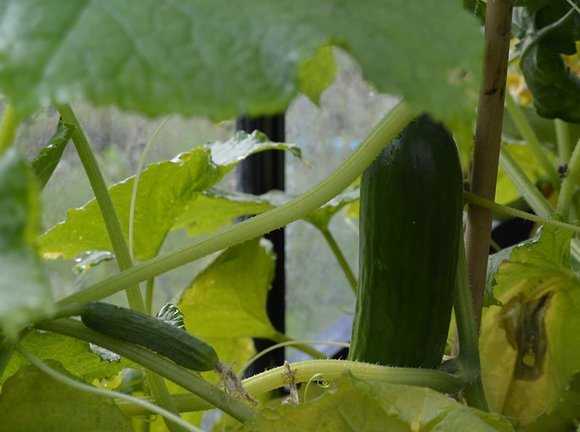 Cucumbers growing in greenhouse