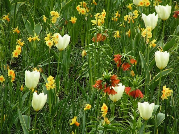 Tazetta narcissus with Crown Imperials and white tulips