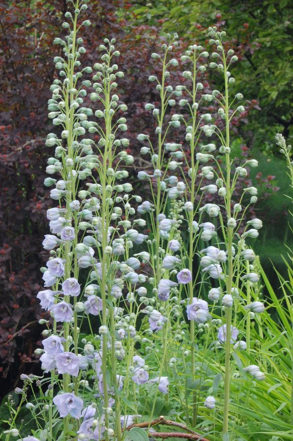Delphiniums at Levens Hall