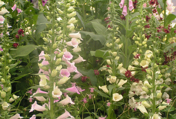 Digitalis and Aquilegia