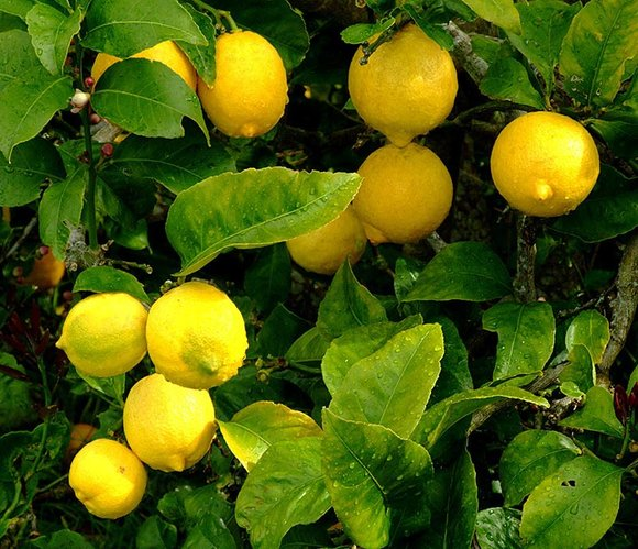 lemons growing on tree