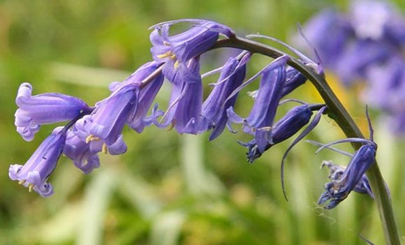Hyacinthoides non-scriptus (English Bluebell)