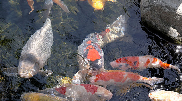 Koi carp in a garden pond