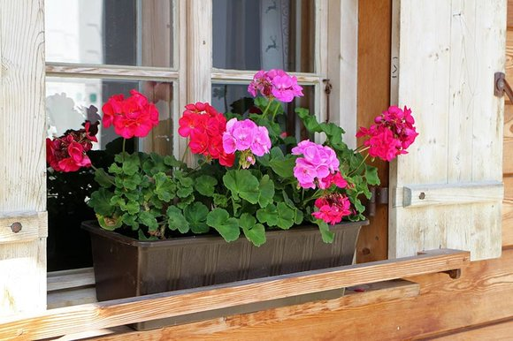 Window box with red and pink geraniums