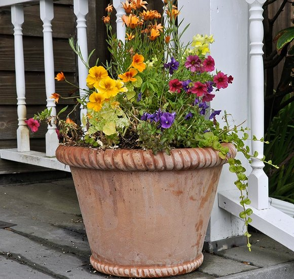 Summer bedding plants in terracotta pot