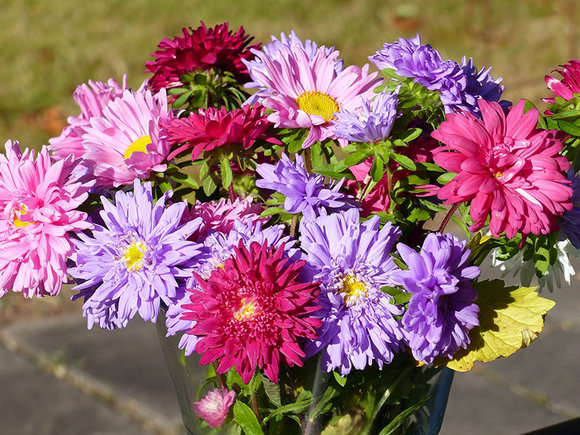annual asters in vase