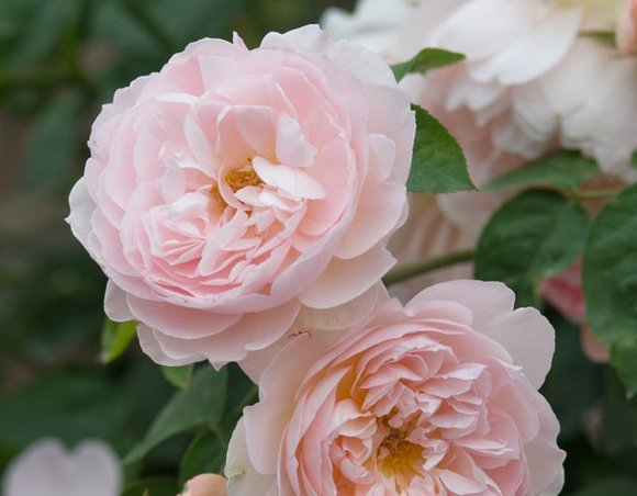 David Austin rose Gentle Hermione