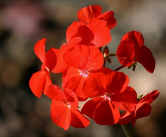 Geranium trailing red