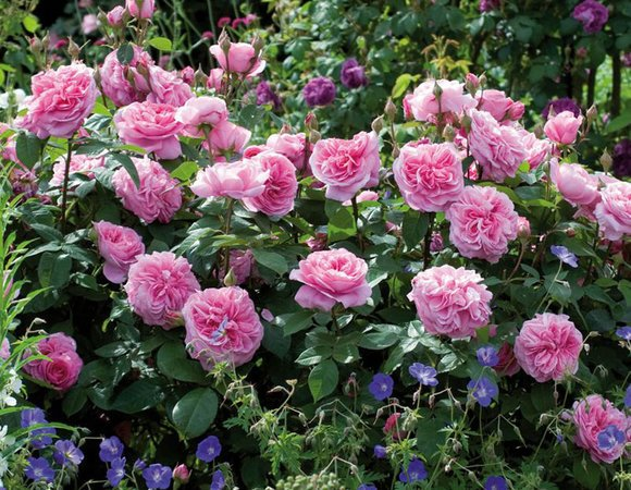 best roses for shade scent flowering the coast and disease resistance hayes garden world. Black Bedroom Furniture Sets. Home Design Ideas