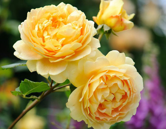 David Austin rose Golden Celebration