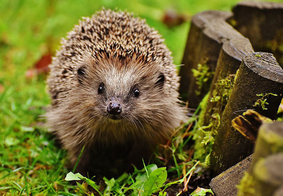 hedgehog in garden