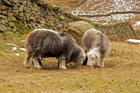 Herdwick sheep grazing in the Lake District