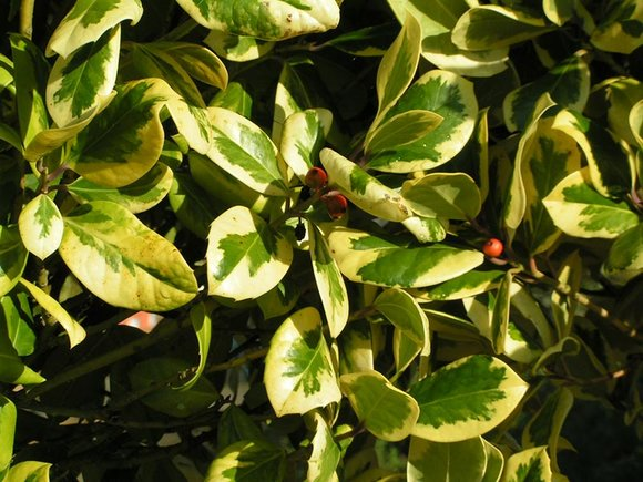 follow our hints and tips for growing holly for christmas. Black Bedroom Furniture Sets. Home Design Ideas