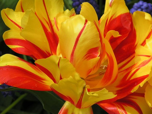 Red and yellow striped tulip