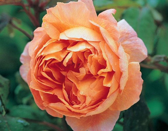 David Austin rose Lady Emma Hamilton