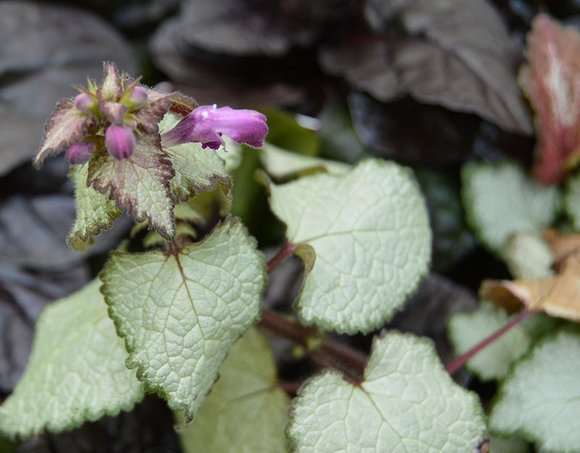 Lamium (Deadnettle)