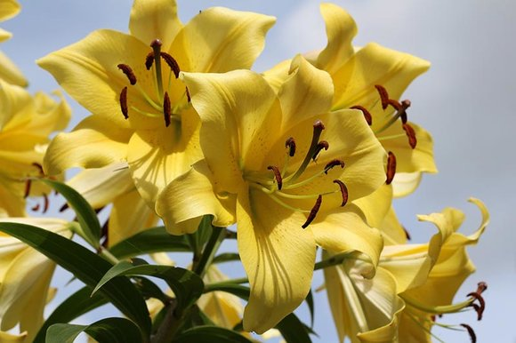 Yellow tree lily