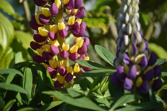 West Country lupins