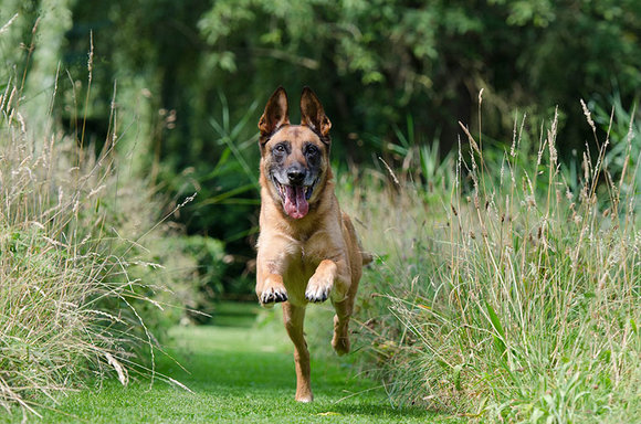 dog running down grass path